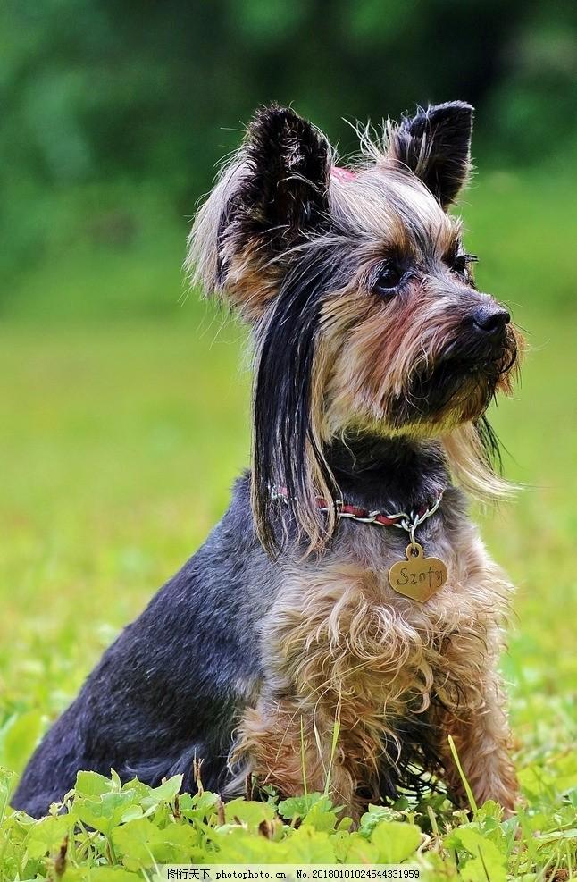 可爱小狗,动物 宠物 萌宠 摄影-图行天下图库