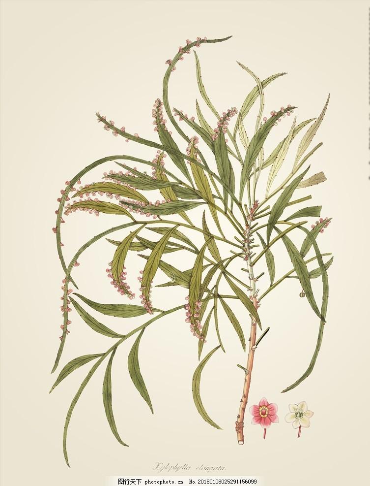 手绘植物插画 图鉴 生物图鉴