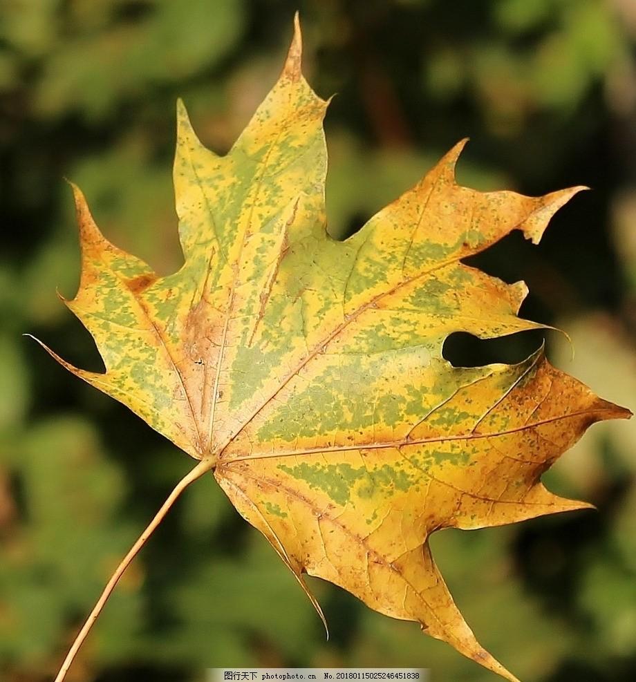枫叶 秋叶 枯叶 落叶 树叶 落叶飘零 摄影 素材 花草植物树木 摄影 生