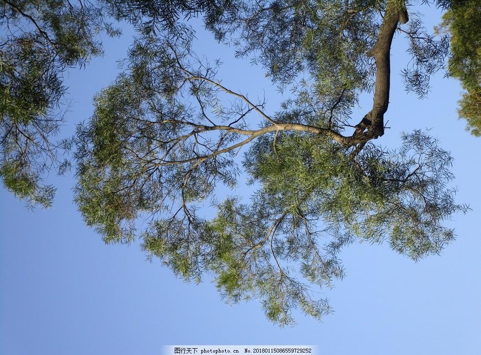 蓝天 天空 夏天 树木 树枝 树冠 自然风景 摄影 自然景观 自然风景