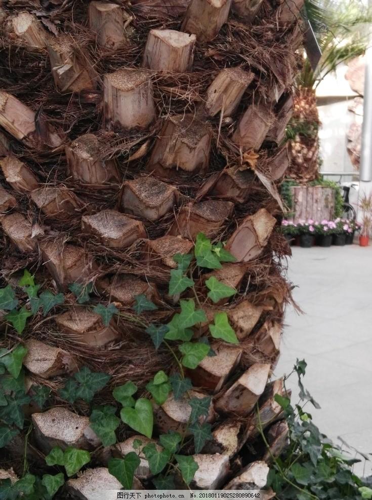 加拿利海枣树 海枣树树干 植物背景素材 花草 园林绿化 绿化景观