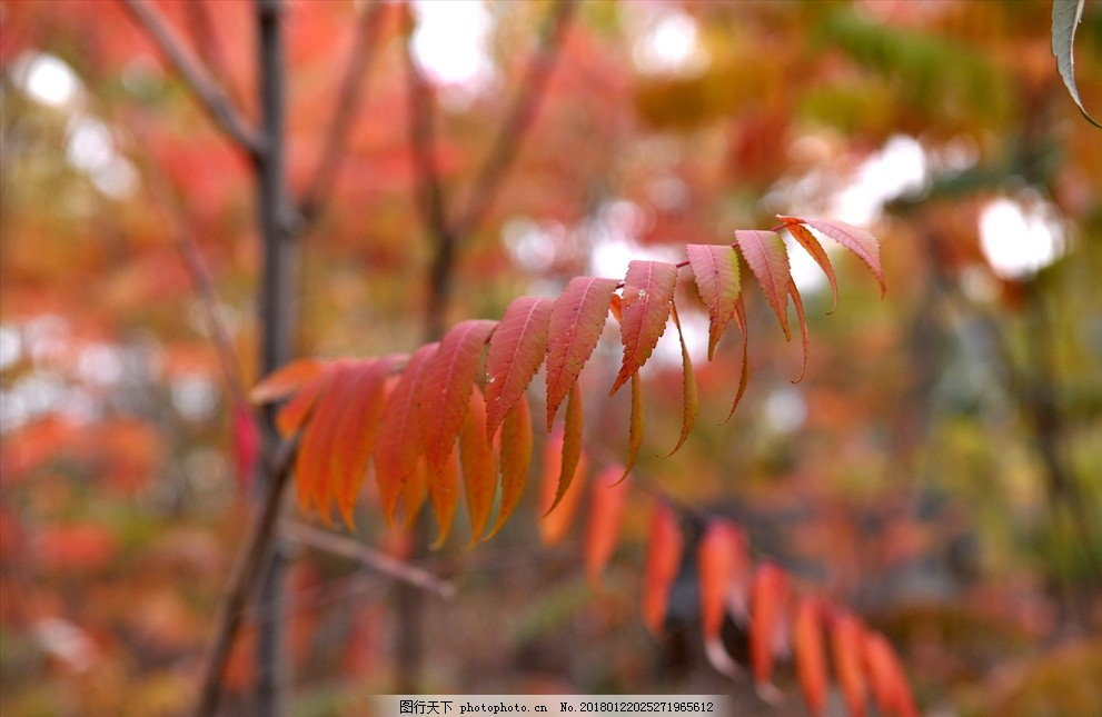 秋叶 秋 风光 自然 风景 校园 摄影 生物世界 树木树叶 300dpi jpg