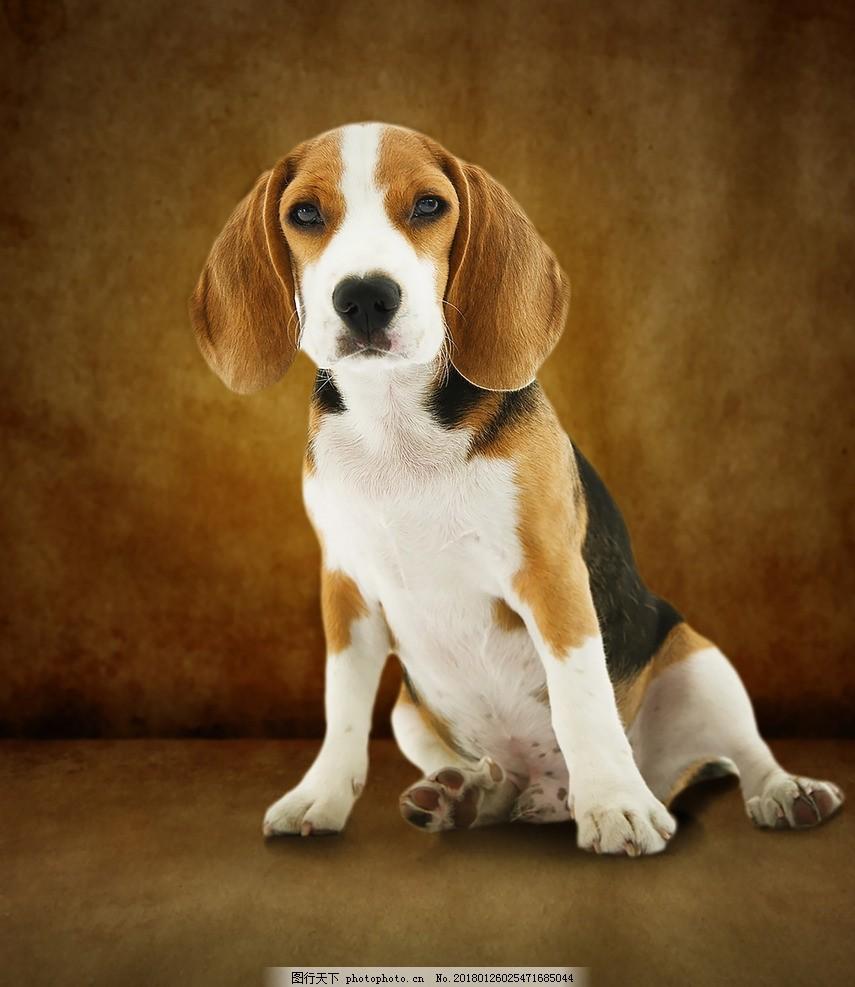 比格犬 小狗 可爱 乖巧 动物 皮毛 摄影 其他生物