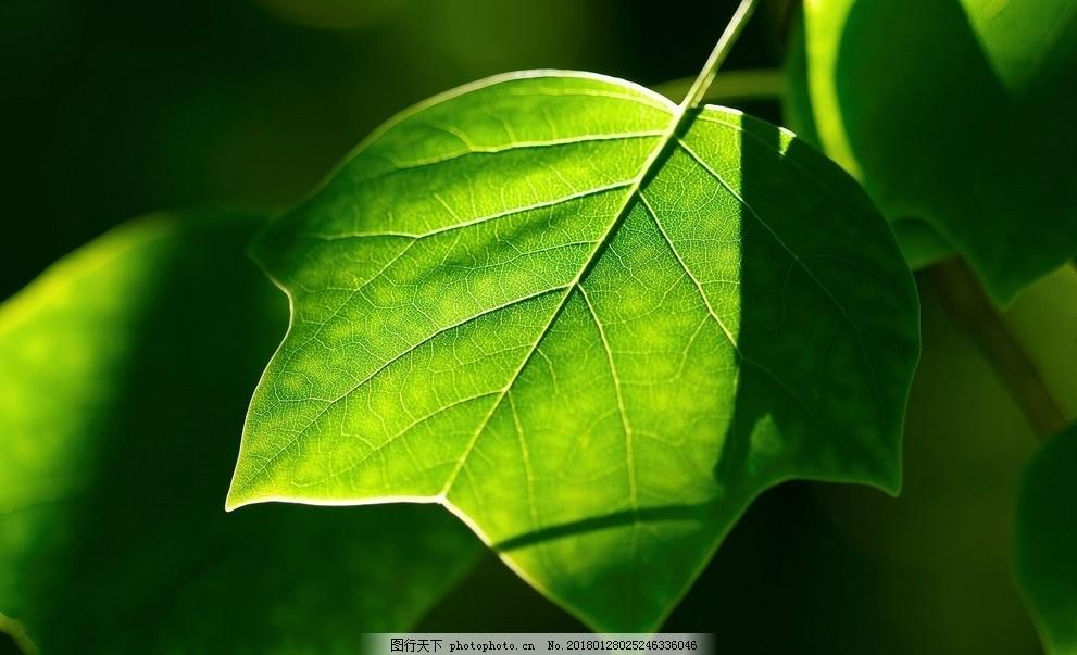 叶子 绿色 植物 树枝 天然 自然 风景壁纸 树叶 树木 摄影图片
