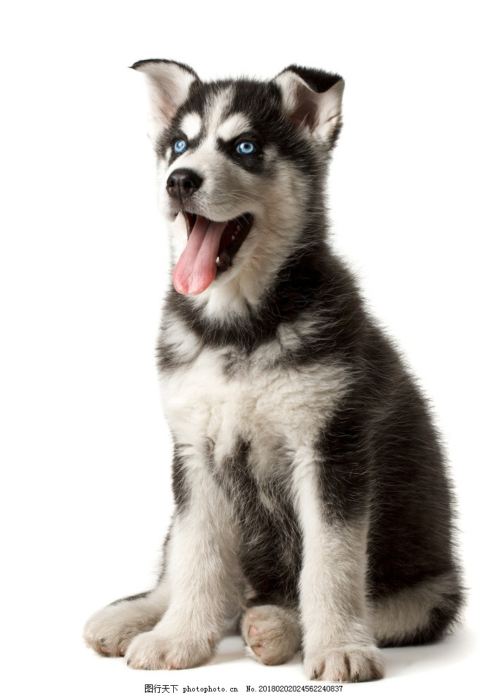 哈士奇 唯美 炫酷 可爱 动物 狗 宠物 宠物狗 小狗 二哈 摄影