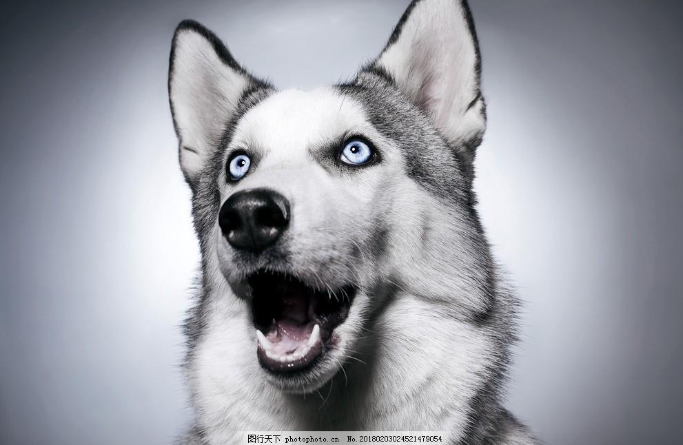 哈士奇 唯美 可爱 宠物狗 小狗 狗狗 二哈 萌宠 摄影