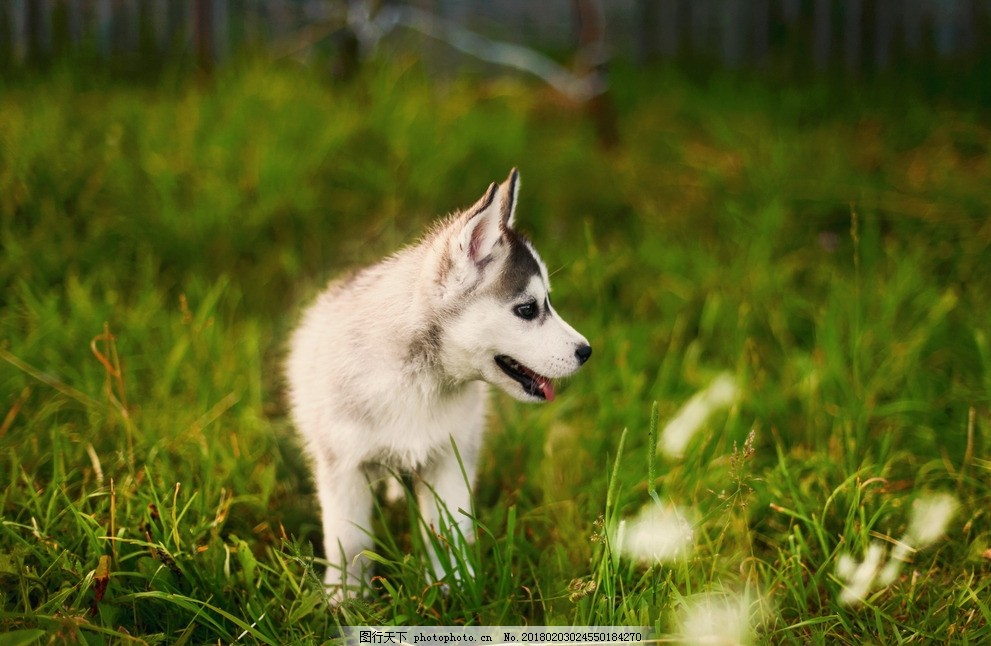 哈士奇 唯美 可爱 宠物狗 狗狗 二哈 萌宠 摄影